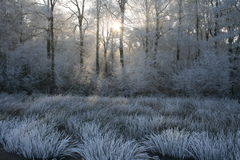 White frost with sunlight between trees limburg. White frost with wintersun through trees and frosty whitened grasses in the foreground winter landscape Stock Images