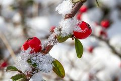 White - frosted red holly berries on snow royalty free stock image
