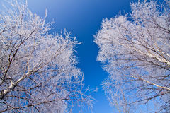 White frozen trees and blue sky Stock Images