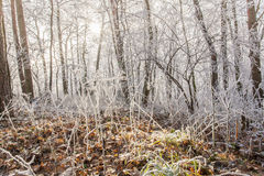 White frozen winter magic forest landscape in the morning light Stock Photography