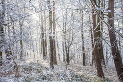 White frozen winter magic forest in the morning light Royalty Free Stock Photos