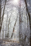 White frozen winter magic forest in the morning light Stock Images