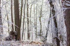 White frozen winter magic forest in the morning light Royalty Free Stock Photography