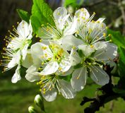 White fruit flowers in the spring Stock Images