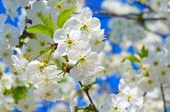 White fruit tree Stock Photo