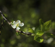 White fruit tree flower blossoming Royalty Free Stock Images