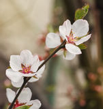 White fruit tree flower blossoming Stock Photography