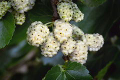 White Fruiting Mulberry. Morus alba. The white mulberry is widely cultivated to feed the silkworms employed in the commercial production of silk Stock Images