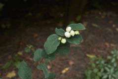 Symphoricarpos albus shrub. White fruits of Symphoricarpos albus shrub Stock Images