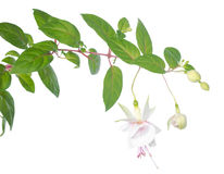 White  fuchsia branch isolated on white Stock Photo