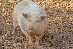 White full grown pig searches for food. Stock Photo