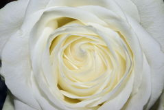 White full rose Stock Photos