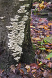 White Fungi on Tree Stock Image