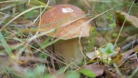 The gifts of autumn. Boletus edulis stock video footage