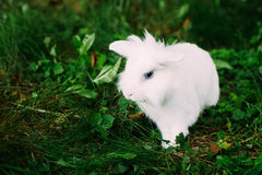 White Funny Bunny Rabbit On Green Grass Stock Photos