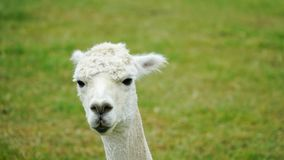 White funny Lama alpaca in New Zealand stock images