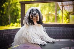Funny Tibetan Terrier dog is sitting at the table. White funny Tibetan Terrier dog is sitting at the table royalty free stock photo
