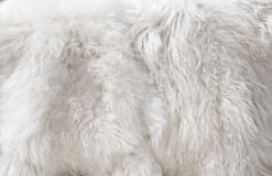 White fur Stock Photos