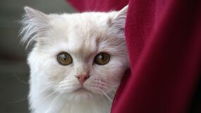 White Fur Cat Near Red Textile Stock Image