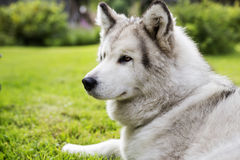 With white fur dog peacefully at garden Royalty Free Stock Photos