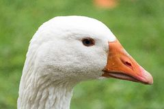 White Fur and Orange Beak Animal Royalty Free Stock Photography