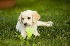 Very young puppy golden retriever dog lays on grass covered field, and plays with badminton ball. White fur puppy pet enjoys childhood in garden, playing with royalty free stock photography