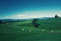 White Furred Animals on Green Grass Field Royalty Free Stock Photo