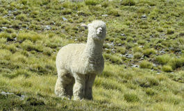 White furry alpaca on green meadow. The llama, lama and alpaca domesticated South American camelid animals on the green meadow in the Andes mountains. Furry stock photo