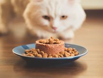 White furry cat eats with pleasure dry and canned food. Scottish Highland straight.  royalty free stock images