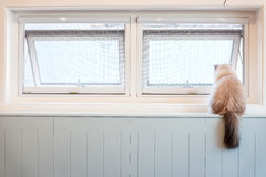 White Furry Cat Sitting by the Window Royalty Free Stock Photos