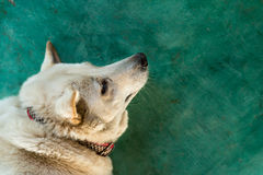 White furry dog on green Royalty Free Stock Images