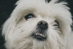 White furry dog Stock Images