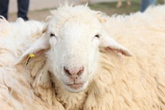 White furry. Funny-face sheep in a farm looking at the camera Stock Photography