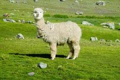 White furry lama royalty free stock photo