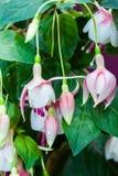 White Fuschia. A bunch of white and dangling pink fuschia flowers royalty free stock photography