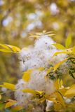 White fuzz on the tree in nature.  Royalty Free Stock Photography