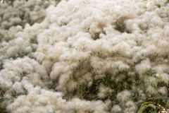 White fuzz on the tree in nature.  Stock Photography