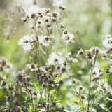 White fuzzy wild flowers burdock with flying seeds Royalty Free Stock Photography