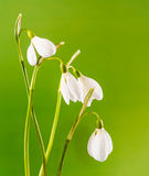 White Galanthus flowers (snowdrop, milk flower), yellow degradee background, close up. Stock Photos