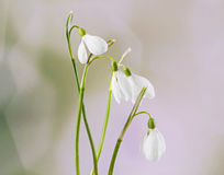 White Galanthus flowers (snowdrop, milk flower), yellow degradee background, close up. Stock Photo