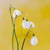 White Galanthus flowers (snowdrop, milk flower), yellow degradee background, close up. Stock Photography