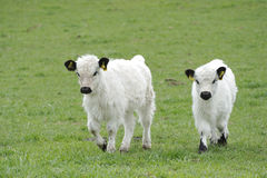 White Galloway Stock Photography