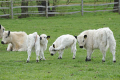 White Galloways Royalty Free Stock Images
