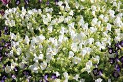 White Garden Balsam. Royalty Free Stock Images