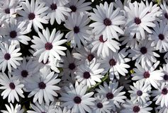 White garden chrysanthemums. As floral background Royalty Free Stock Images