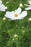 White garden cosmos flower, Cosmos bipinnatus Stock Photography