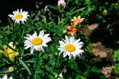Garden daisy in a flower bed. Selective focus. Royalty Free Stock Photography