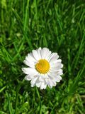 White garden daisy stock images