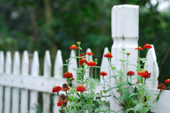 White Garden Fence and Zinnias. White wooden garden fence with red zinnias Stock Images