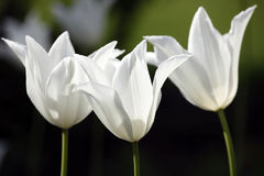 White Garden Flowers Royalty Free Stock Photography